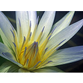 flower petals stamen water lilly african