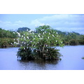 Birds in a tree in the wetlands on sabah borneo