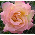 Pink Rose Nature Macro jdahi64