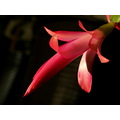schlumbergera flower color red