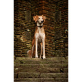 dog stonework steps saluki
