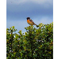 Stonechat on Dartmoor