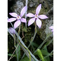 Pink Fairy Orchids orchid fairy pink flower