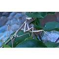 Insect Praying Mantis perth littleollie