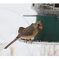 The female cardinal lands on the feeder but the male stays on the ground.  For two years now the ...