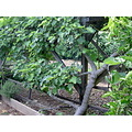 fig trellis garden fruit espalier