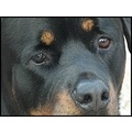 reflectionthursday rottweiler