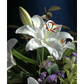 lily flower white