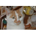 close up animals ginger white portrait pet cat
