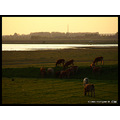 spring landscape nature tree holland water cow cows CH1988