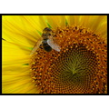 flower macro insect bee sunflower