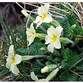 flower primrose spring beauty