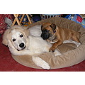 Pyrenees Mastiff pet dogs ANIMALFRIDAY2 Niagara Canada