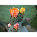 fruit pricklypear