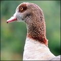 egyptiangoose goose bird
