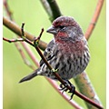 HouseFinch Finch Bird Burnaby BC Canada