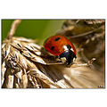 insect nature ladybeetle