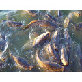 Carps Fishes Madrid Spain