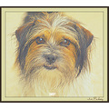 Dog Indy shihtzu terrier Pankey wildspirit pet papagenasdogclub