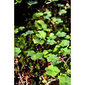 wood green clover