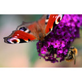 butterfly insect macro buddleia colour