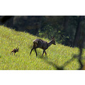 roe deer fawn wildlife