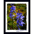Bluebell Flower Spring Kerry Ireland Peter OSullivan