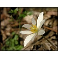 bloodroot wildflower white nature