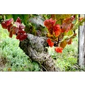 nature vineyards wineyards France autumn leaves