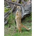 Mongoose Yorkshire Wildlife Park UK