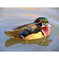 duck water bird wildfowl