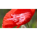 poppy flower stars red green summer