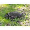 snapping turtle reptile large big presquile grass