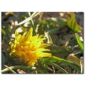 dandelion flower nature yellow