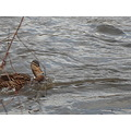 week 3 mallard duck swim up stream naugatuck river