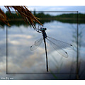 lake reflections insect dragonfly