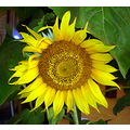 Sunflower of the sun City - Vitoria