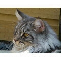Cats Maine Coon