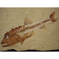 animal fish fossil