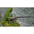 Lizard reptiles Animal Nature Iran Jungle Green Life Persia Golestan