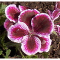 I loved the colors in this geranium Sure hope snow doesnt get it