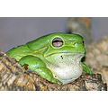 green tree frog reptile animal nature wildlife amphibian