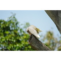 bird animal corella