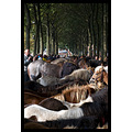 "Every third Tuesday in October is ""Zuidlaardermarkt"", the biggest horsemarket in Europe. They wer..."