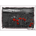 Poppy Red Rememberance Barrow Kerry Ireland Peter OSullivan