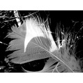 feather black and white