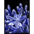 blue agapanthus flower