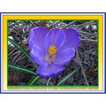 crocus flower spring blossoming
