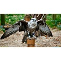 kestrel birdofprey falconry nature bird wildlife