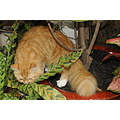 Our cats are twin siters. This is Orange. We give her this name because her color fur. She is wai...